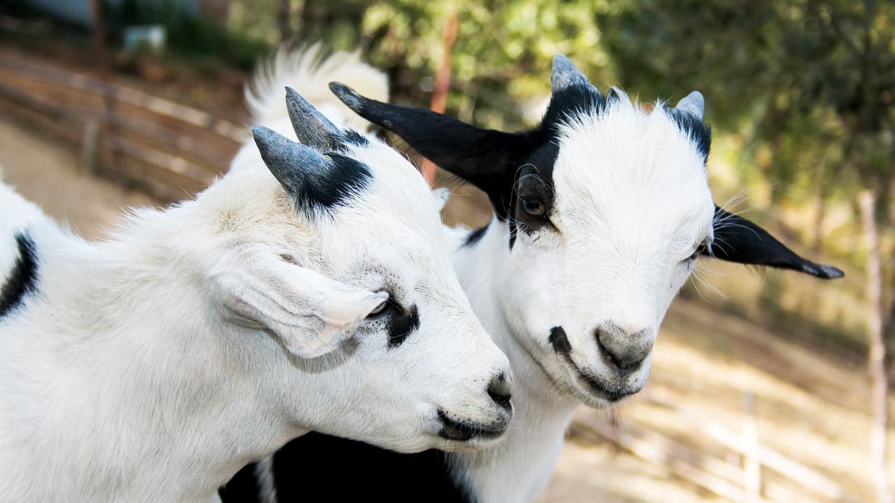 Le capre tibetane hanno potere curativo