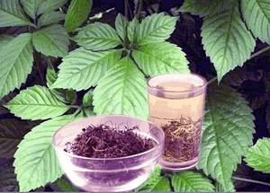 Conosci la gynostemma pentaphyllum?