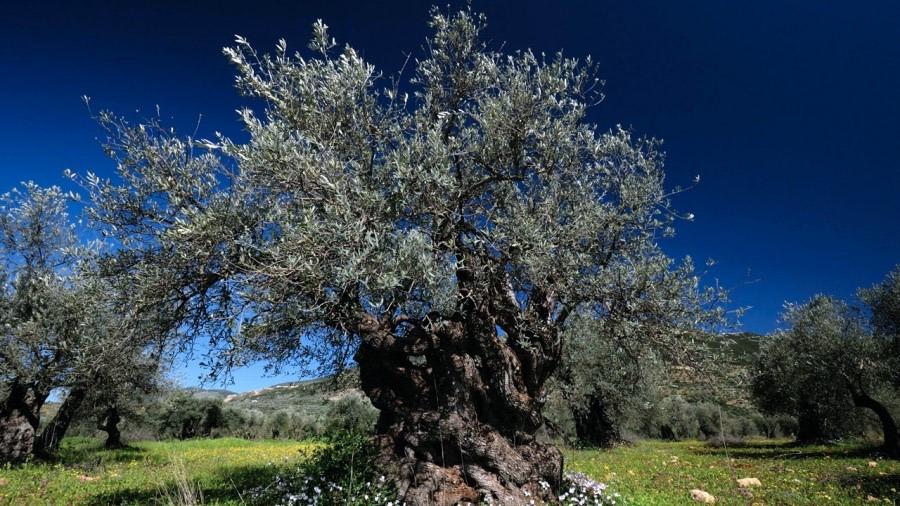 Albero del ulivo descrizione e proprietà