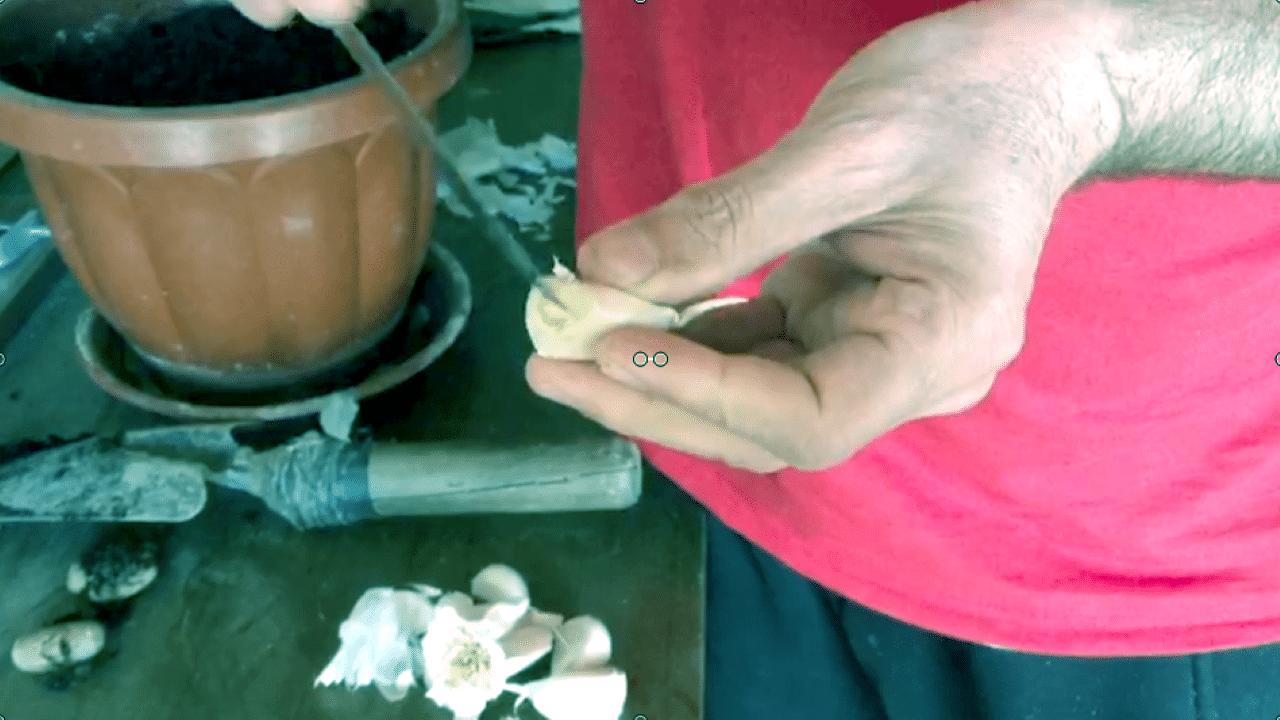 Piantare aglio e auto produrlo